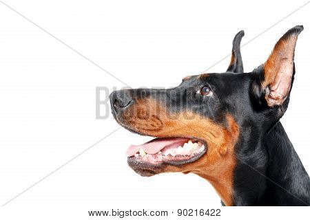 Close up sideview of dobermann pinscher