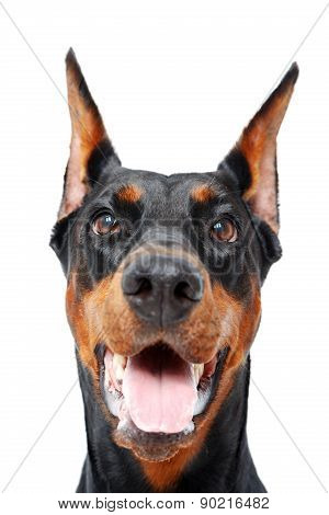 Close up of doberman pinscher with opened mouth