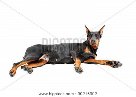 Lying doberman pinscher on isolated white background