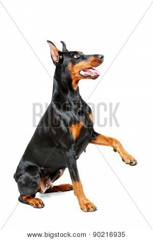 Sitting doberman pinscher giving his paw