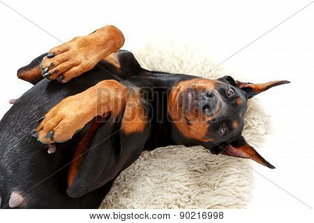 Joyful lying dog on white carpet.