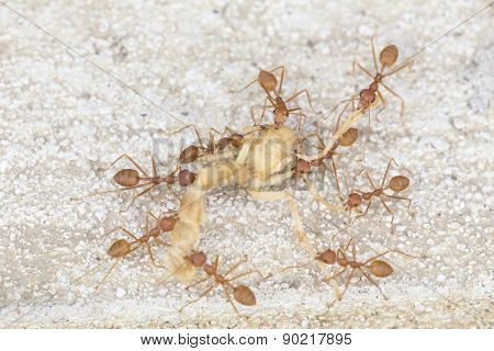 Red Ants Carrying Dried Body Of Insect
