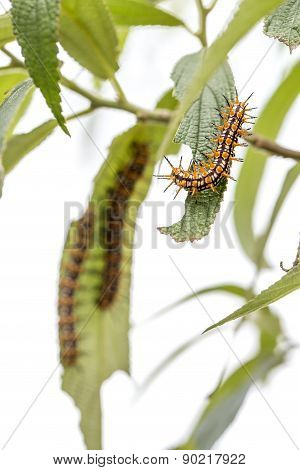 Group Of Orange-Black-and-White Hairy Caterpillar On Green Leaves