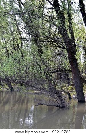 Green willows on the river