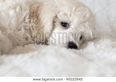 puppy podle
