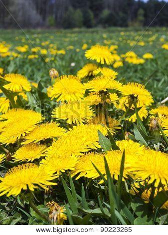 Meadow In May Full Flowering Yellow Dandelions