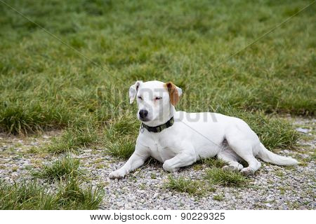 Little Dog Laying On Grass Look Innocent And Looking To The Side. Cute Labrador