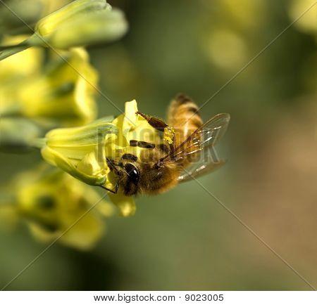 Abeja recolectando polen de flor amarillo primavera de brócoli