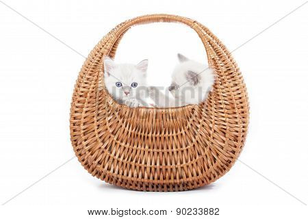 Ragdoll Kittens In Bell Basket
