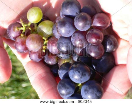 Grapes Of The Bodensee