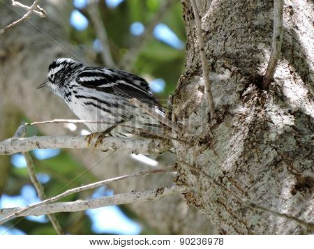 Ruffled Feathers Black-and-white Warbler