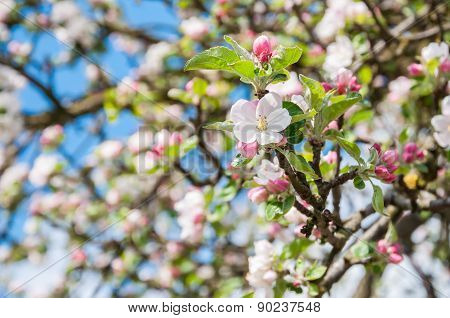 Closeup Of Flowering Crabapple Tree