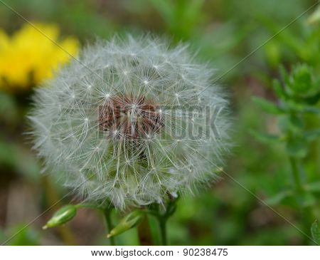 Dandelion seed in full bloom