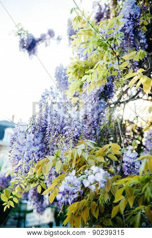 Wisteria Palnt In Blue Purple Color In Bloom