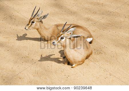 Two Gazelles