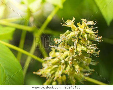 Ohio Buckeye Blooms. Aesculus Glabra. White Tree Cluster Blooms. Close-up.
