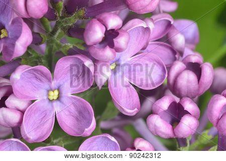 Lilac Buds