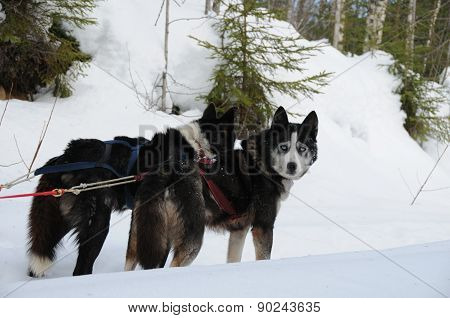 Dog sled in the forest.
