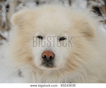 White sled dog shaggy