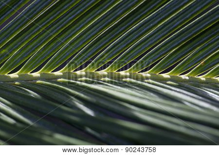 Close Up Of Sago Palm Frond