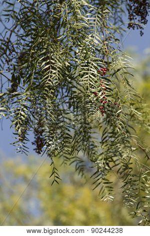 Full Grown Pepper Tree