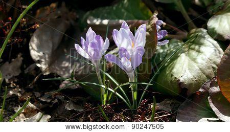 Purple crocuses in Spring.