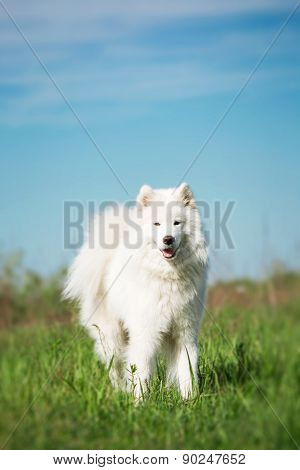 Samoyed dog standing on a background of green grass and blue sky.