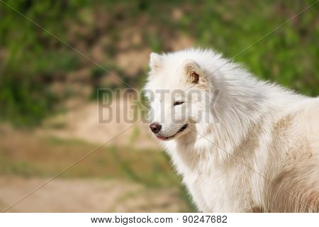 Portrait of Samoyed dog on natural background