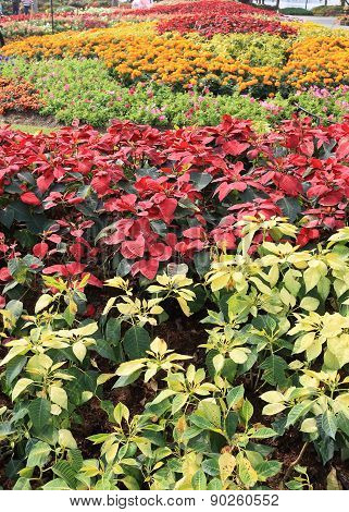 Poinsettia Flowers In Garden