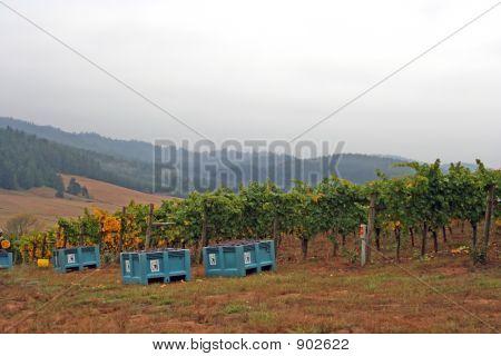 Full Grape Bins During Harvest