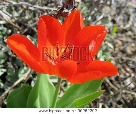 A red springtime tulip