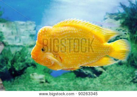 Beautiful Aquarium Fish Amphilophus Citrinellusc