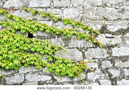 Green Ivy On Ancient Castle Wall