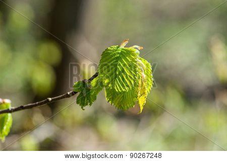 Beech Leaf On A Twig