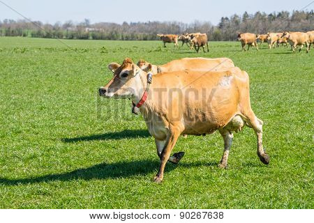 Jersey Cattle Running On A Field