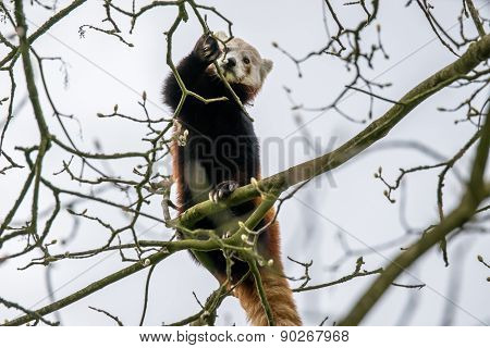 Red Panda Climbing In A Tree
