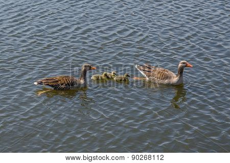 Geese With Cute Goslings