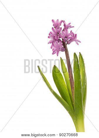 Gentle Pink Hyacinth