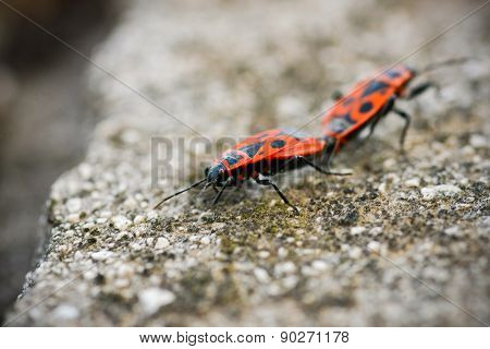 Two Fire Bugs Macro On Stone Background