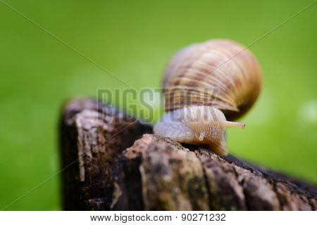 Isolated Snail On The Stump