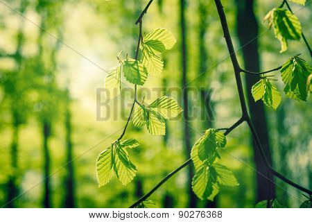Beech Leaves At Springtime