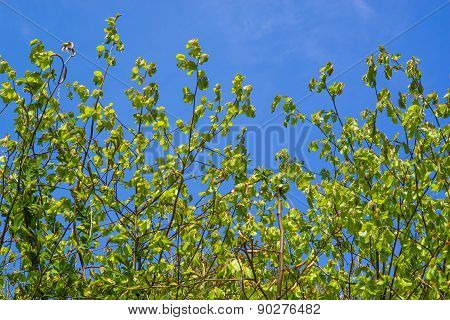 Beech Leaves On Blue Background