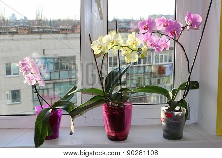 Three Multicolor Blossoming Orchids On Window-sill