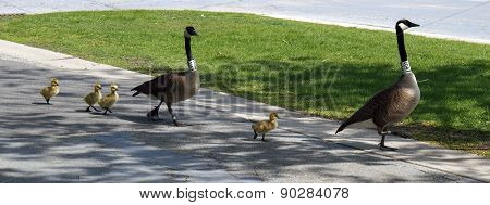 A Goose Family Out for a Stroll