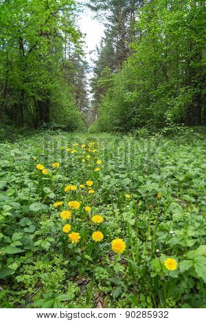 Yellow dandelions are growing in the forest.