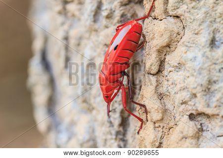 Insect on tree in Sycanus Genus