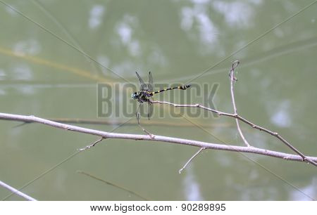 Tiger Dragonfly On Branch