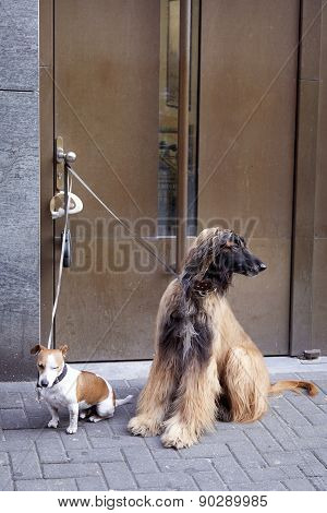 Afghan Dog And Jack Russel Waiting