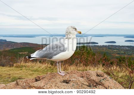 Seagull at Acadia National Park, Maine, USA.