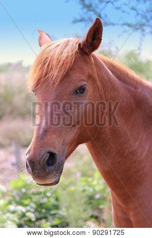 Brown Wildhorse